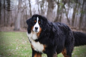 Nadja - AKC Bernese Mountain Dog