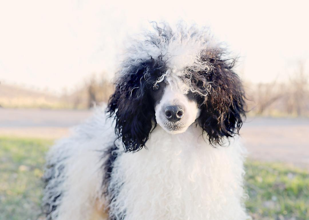 Bernedoodles – Country Lace Bernedoodles