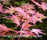 Клен японский красный. Acer japonicum
