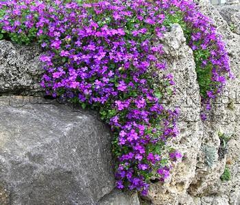 Обриета (Aubrieta). Растение для дизайна участков со склоном