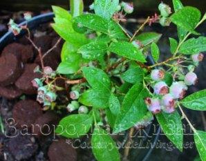 Спитой кофе (кофейная гуща) - домашнее удобрение и мульча для растений ацидофилов