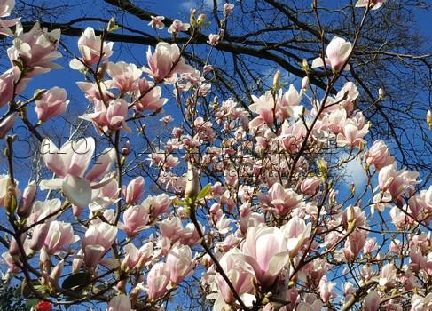 Магнолия суланжа (Magnolia soulangeana), цветение в нашем саду