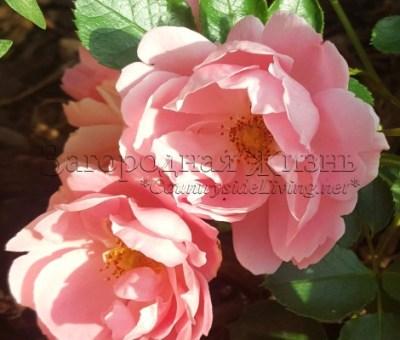 Роза почвопокровная Sommerwind (Surrey). Цвет 'бедро нимфы'