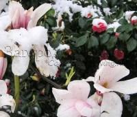 Цветы в снегу. Магнолия и камелия цветут в моем саду, март