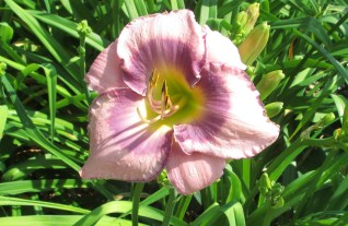 Bonibrae Daylilies 3