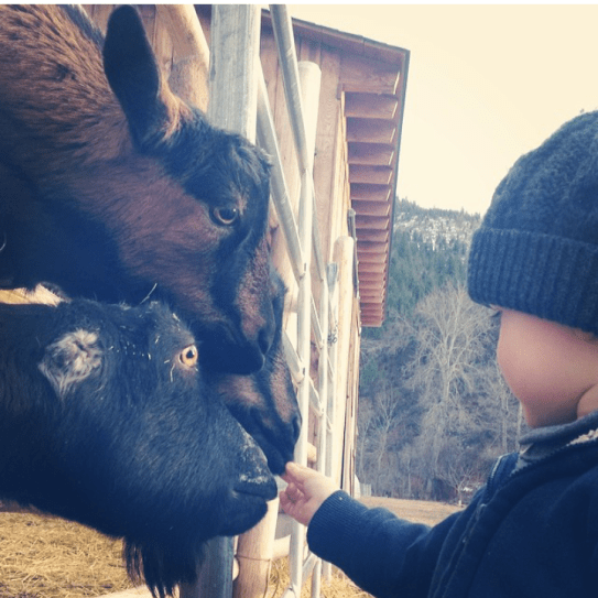 Adrien and goats