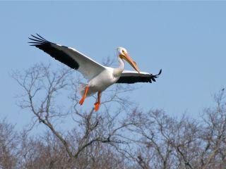 American White Pelican by Benjamin Murphy