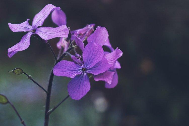 sirop violettes