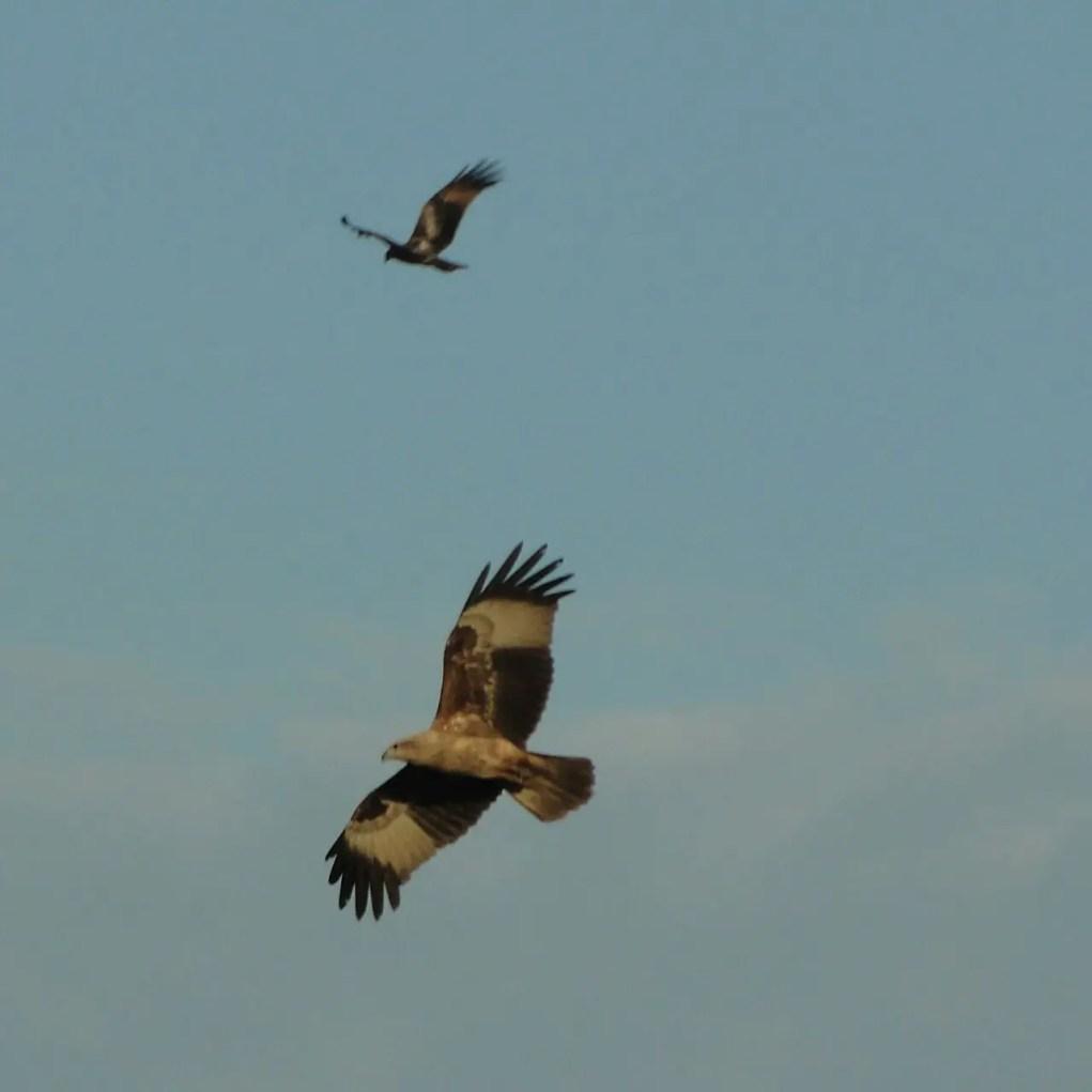 Black kites of Konkan