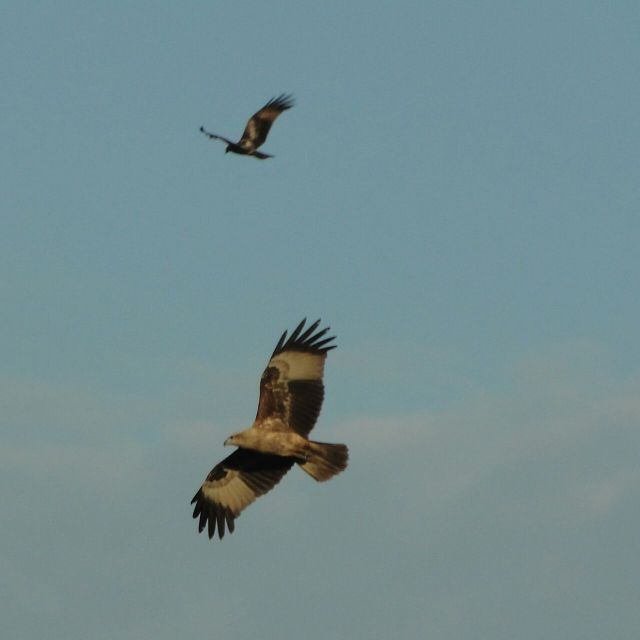 Black kites of Konkan