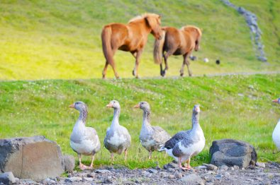 Icelandic horses and goose saying good morning | Gay Couple Road Trip East Iceland © Coupleofmen.com