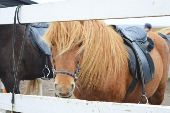gay-travel-roadtrip-north-iceland-hestasport-icelandic-horse-riding-01