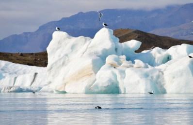 Sea lions and seagals | Zodiac Tour Glacier Lagoon Jökulsárlón © CoupleofMen.com
