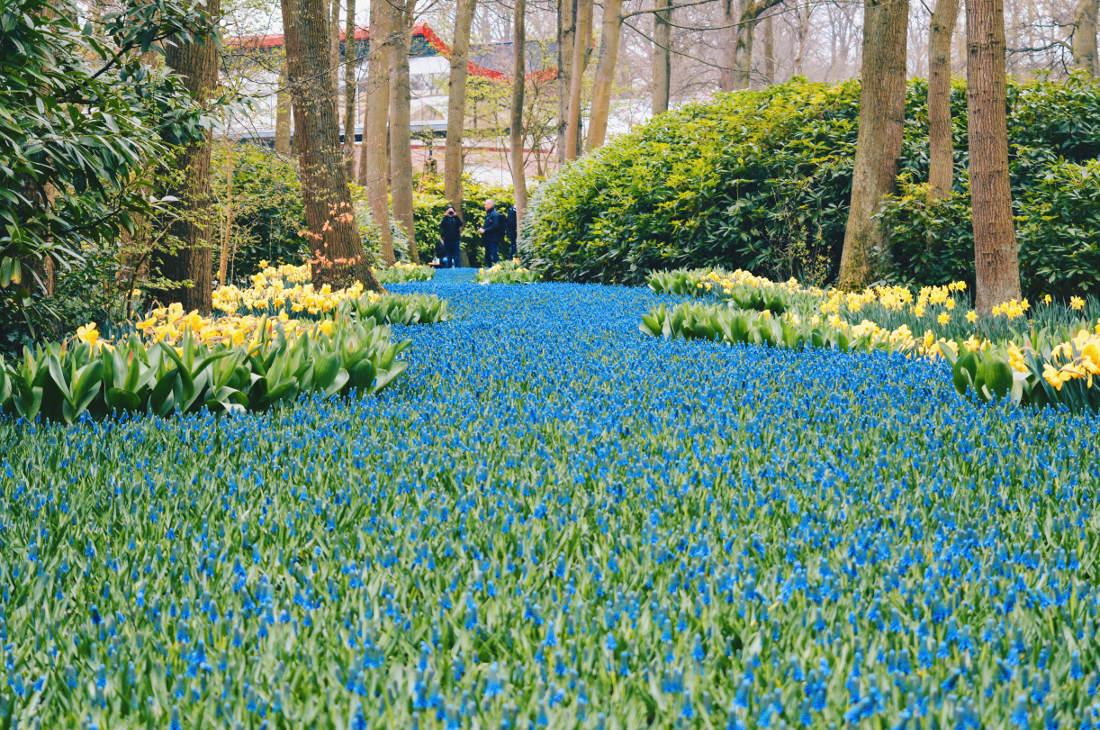 The color combinations are in incredible   Keukenhof Tulip Blossom Holland © Coupleofmen.com