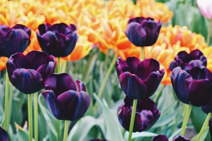 Tulips in dark purple and orange | Keukenhof Tulip Blossom Holland © Coupleofmen.com