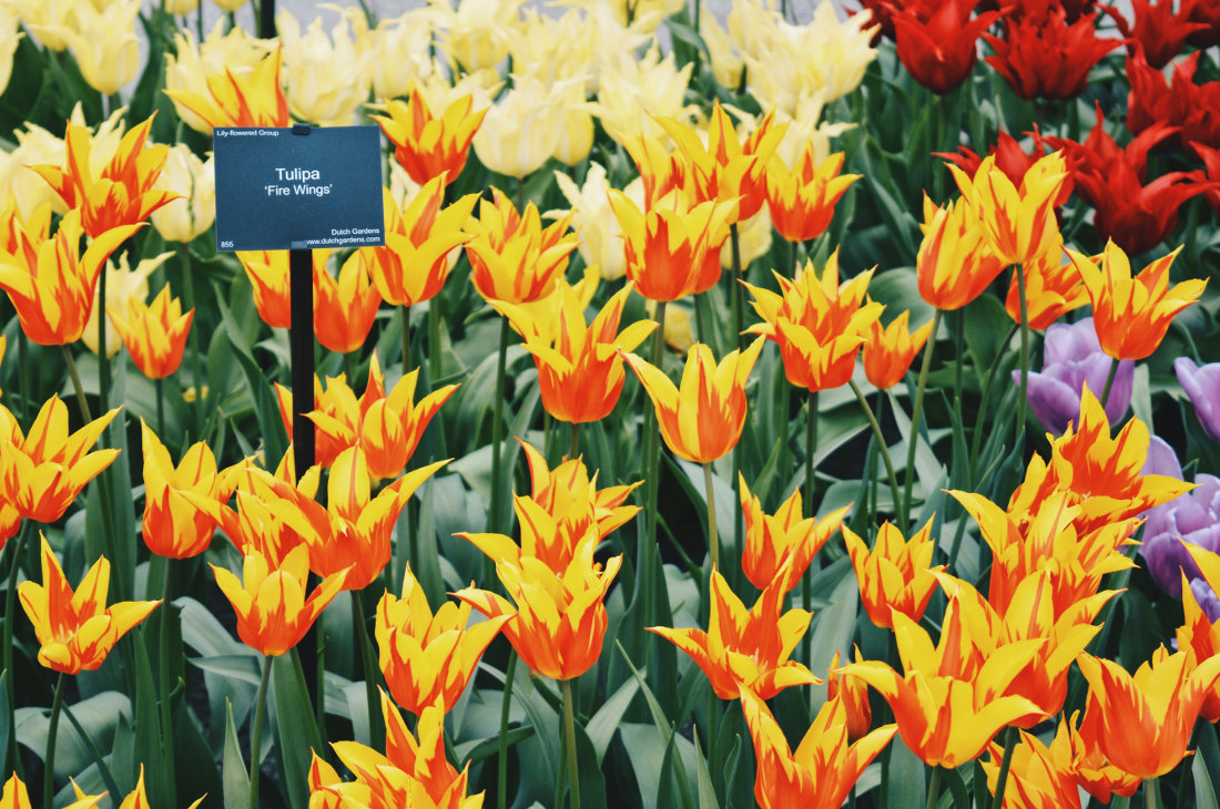 Red Yellow Fire Wings - Tulips in all possible color combinations   Keukenhof Tulip Blossom Holland © Coupleofmen.com