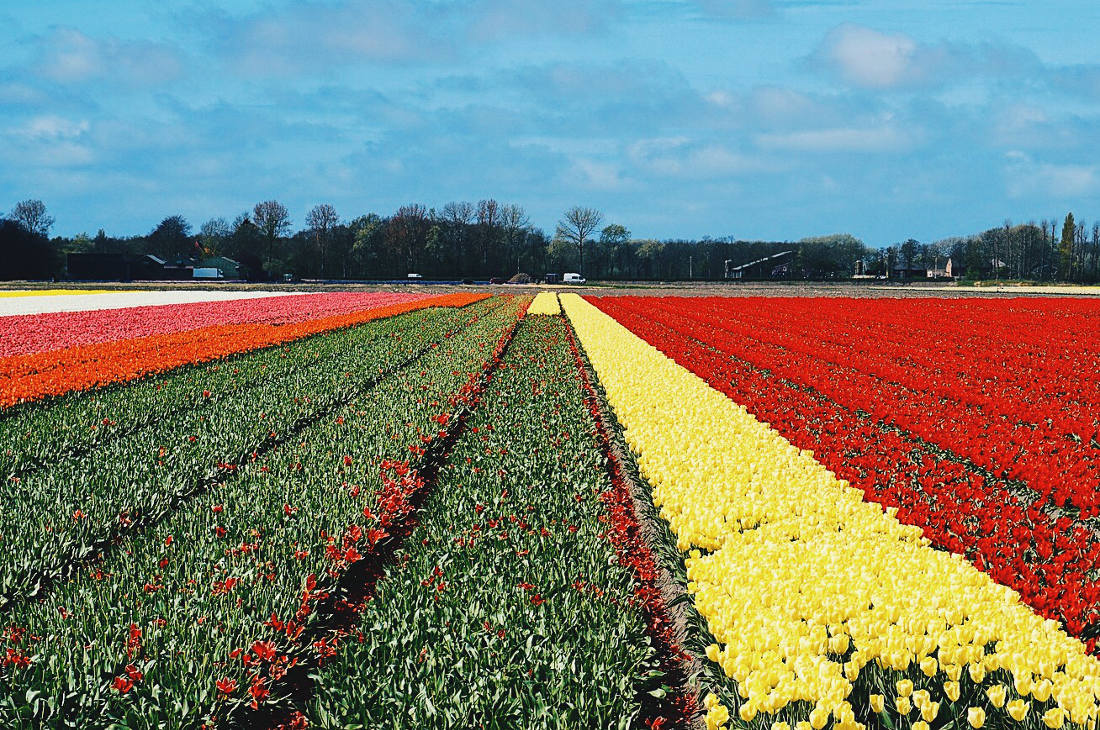 Wide flower and tulip fields all over the Netherlands   Keukenhof Tulip Blossom Holland