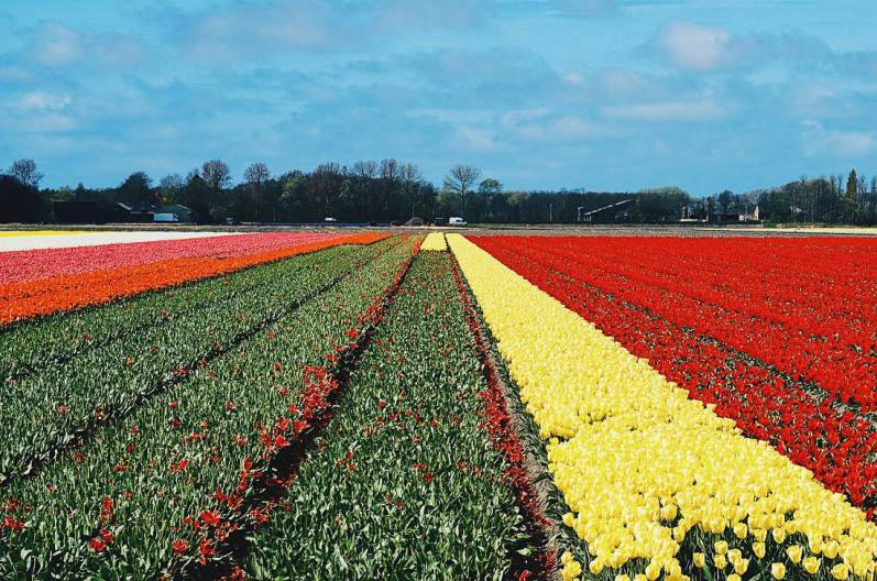 Wide flower and tulip fields all over the Netherlands | Keukenhof Tulip Blossom Holland
