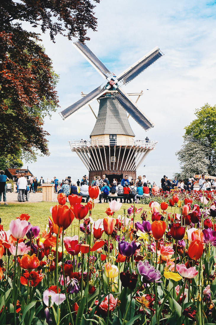 One of the main attractions is the windmill   Keukenhof Tulip Blossom Holland