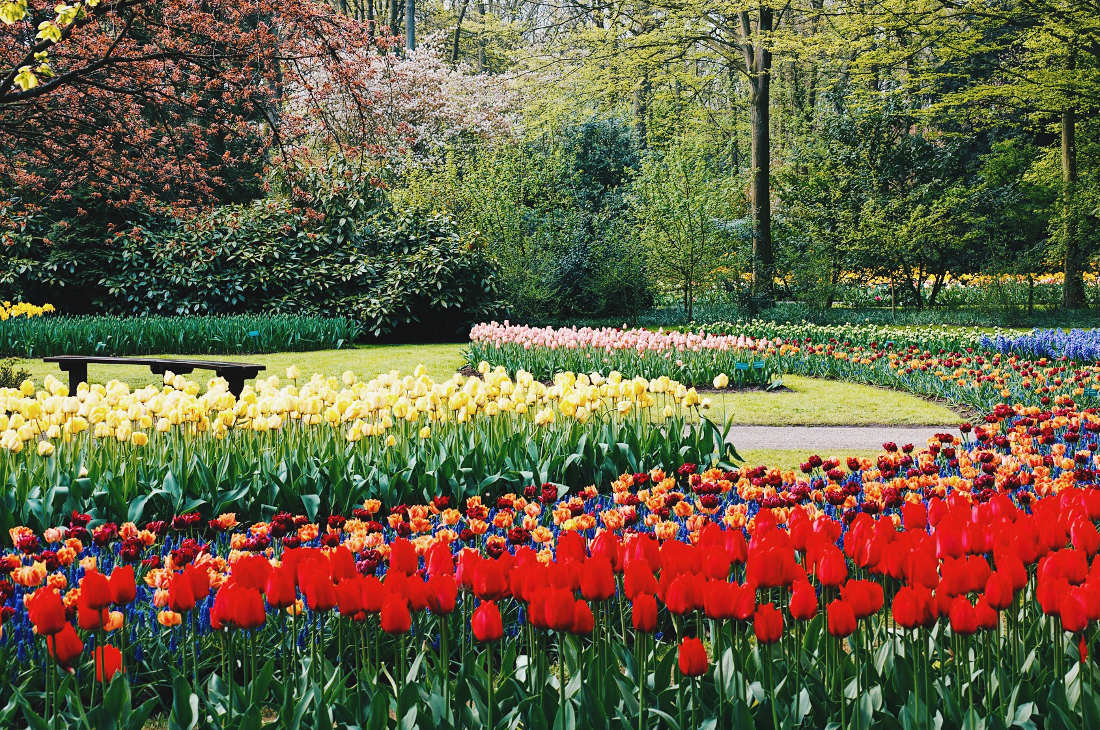Made to take a picture!   Keukenhof Tulip Blossom Holland