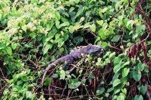 A black Ctenosaur Iguana laying around to get some sun | Gay-friendly Costa Rica © Coupleofmen.com