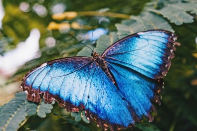 One of the most famous animals of Costa Rica - the Blue Butterfly Menelaus Blue Morpho | Gay-friendly Costa Rica © Coupleofmen.com