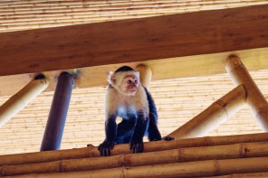 Curious White-headed capuchin monkey trying to steal our breakfast | Gay-friendly Costa Rica © Coupleofmen.com
