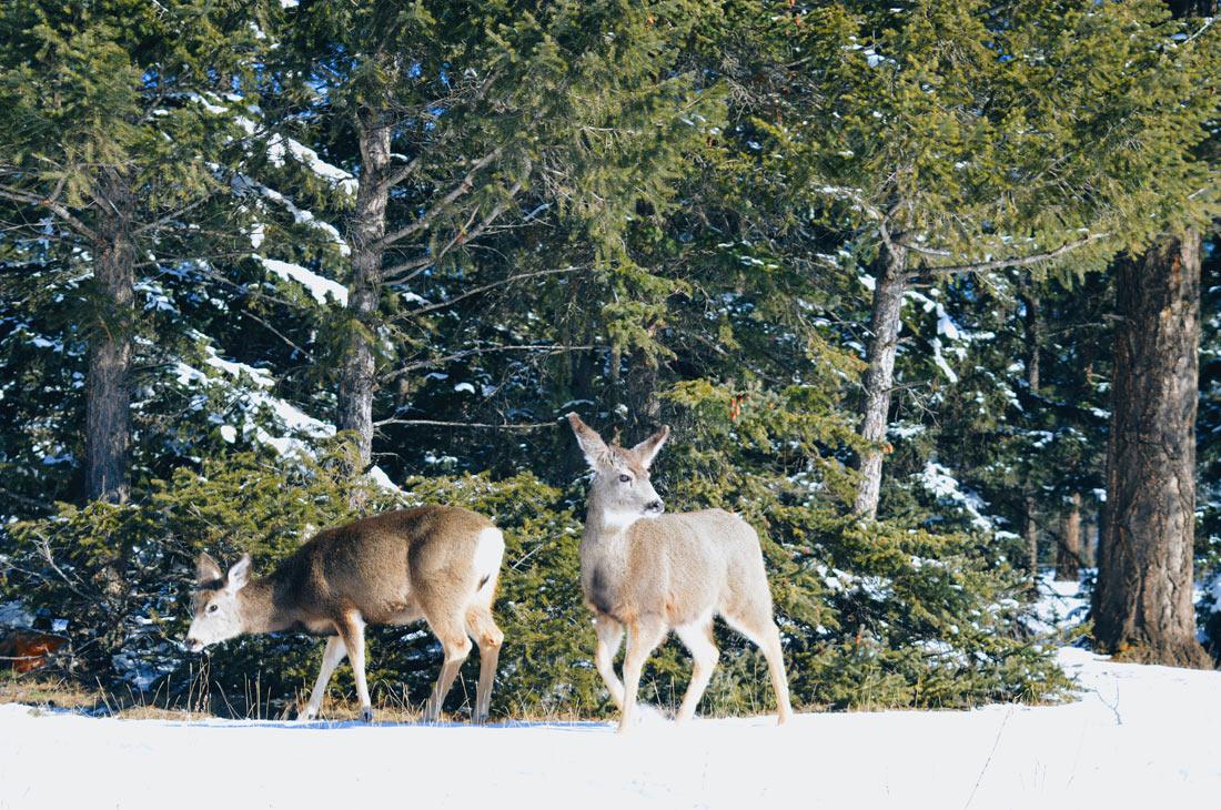 Wapitis at Jasper National Park | Winter Road Trip Alberta Highlights Canadian Rocky Mountains © Coupleofmen.com