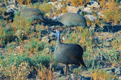 Daans favorites: The feisty Helmeted Guineafowl always walking in a big group at Etosha in Namibia © Coupleofmen.com