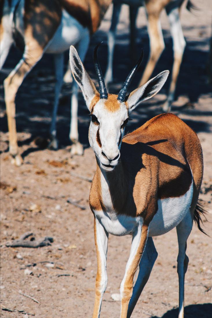 The white faces of Springboks are so pretty! We are in love with Etosha in Namibia © Coupleofmen.com
