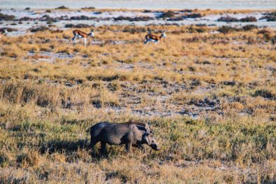 A wild boar called Warthog (or Pumba) in front of two Springboks at Etosha in Namibia © Coupleofmen.com