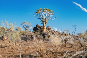 These special trees called Quiver trees are saving huge amounts of water and are several hundreds of years old © Coupleofmen.com