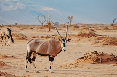 Right before we enter the Sossusvlei area (only 4x4 allowed) a group of Oryx came by to say good morning © Coupleofmen.com
