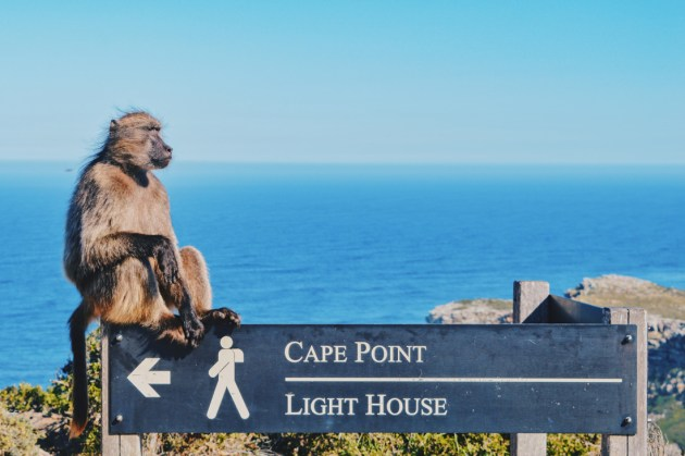 'Welcome Monkey' at the parking lot of the Cape Point Nature Reserve © Coupleofmen.com
