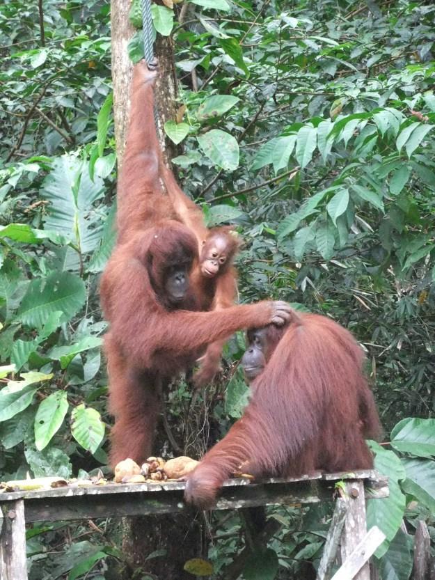 Stroking orangutans, Semmongoh, Malaysia