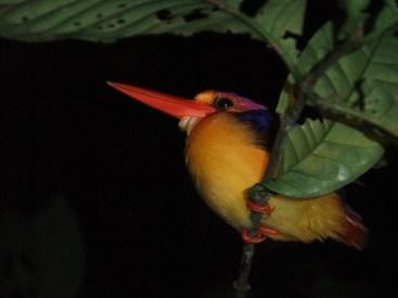 Sleeping kingfisher, Kinabatangan River, Malaysia