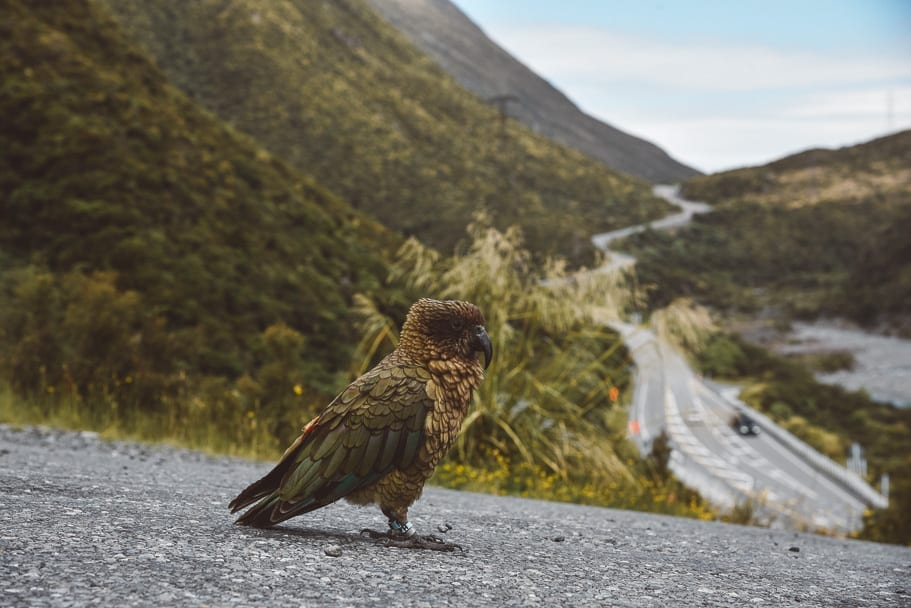 Kea-Bird-Otira-Viaduct-Lookout, on our epic 2 week New Zealand road trip (Day 3 South Island itinerary)