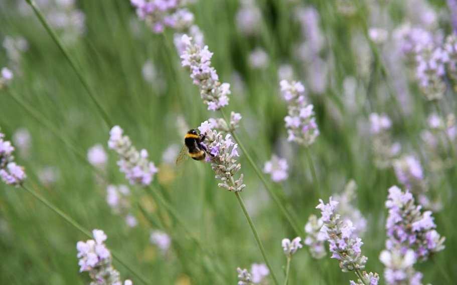 The 13 BEST Lavender Fields in the UK near London