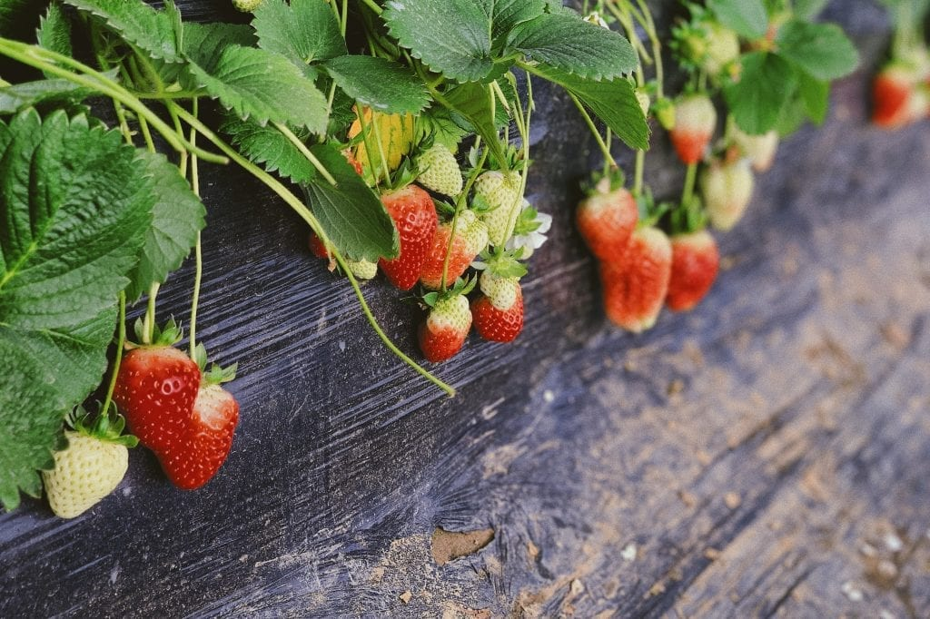 strawberry-shortcake-florida-foods