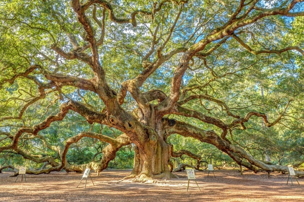 angel-oak-tree-charleston
