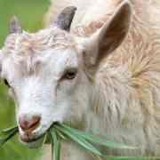 verliefd op een geit