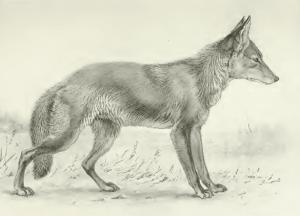 Une gravure de coyote.
