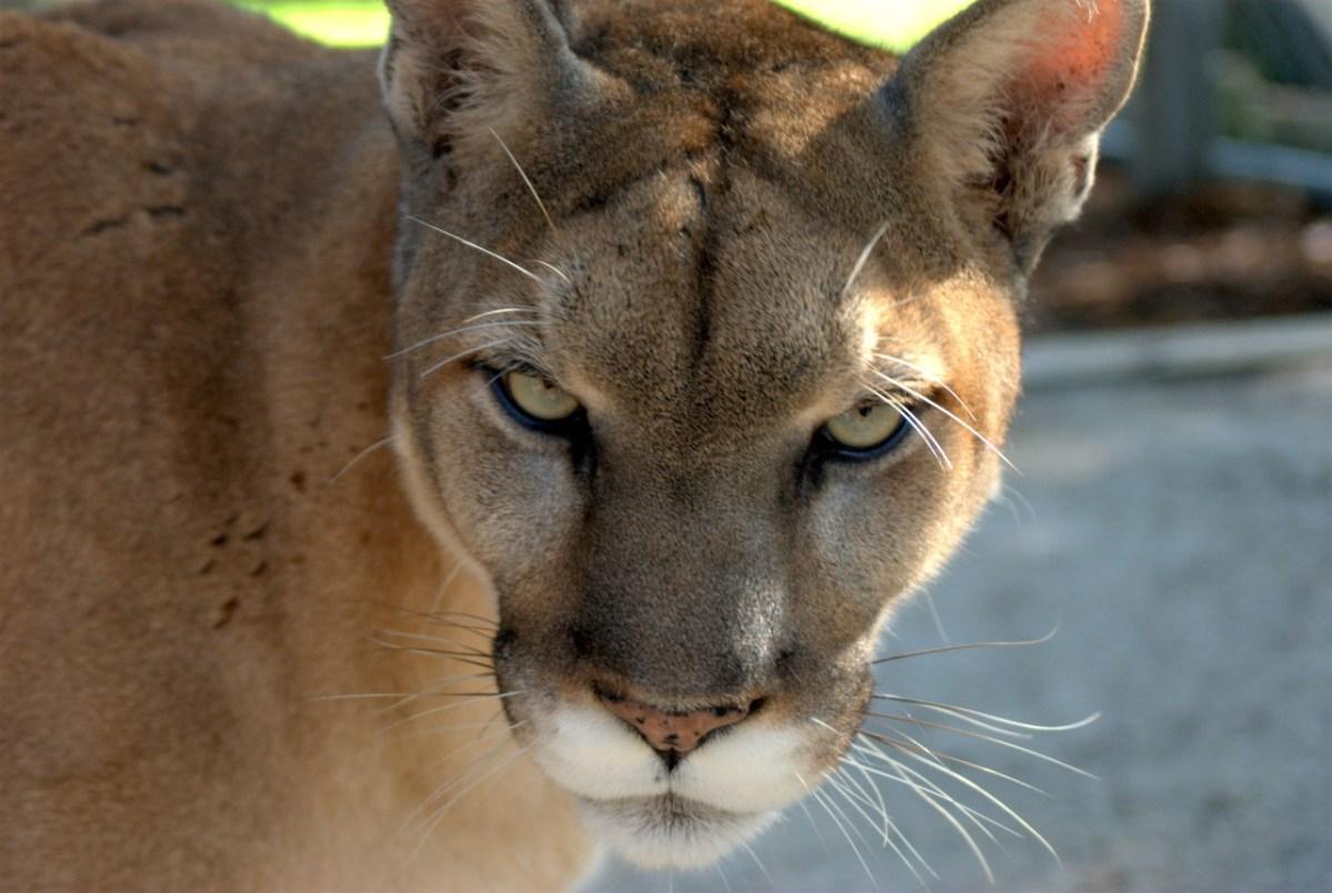 Renaissance de la faune en Floride : les félins vous ont à l'oeil !