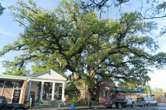 "Le ""Jim Bowie Oak Tree"" à Opelousas"