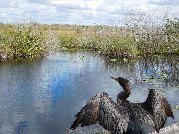 Oiseau à Anhinga Trail (Flamingo -Everglades national Park)