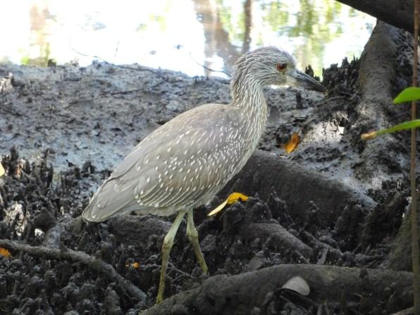Oiseau dans la mangrove de Boynton Beach