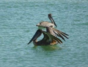 Oiseaux sur la plage de Delnor-Wiggins Pass State Park à Naples Floride