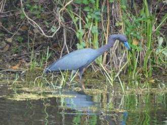 Héron Bleu à Riverbend Park / Jupiter / Floride oiseau