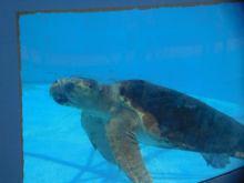 Tortue au Loggerhead Marine Life Center à Juno Beach / Floride