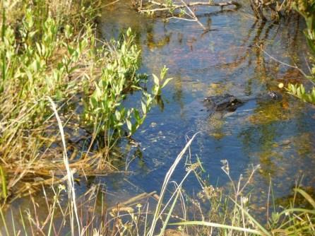 Alligator à Shark Valley / Parc National des Everglades